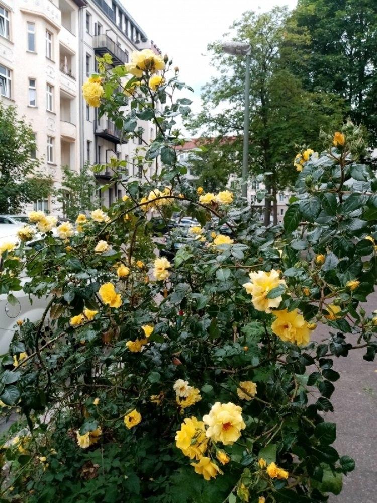 Кусты на Берлинской улице.