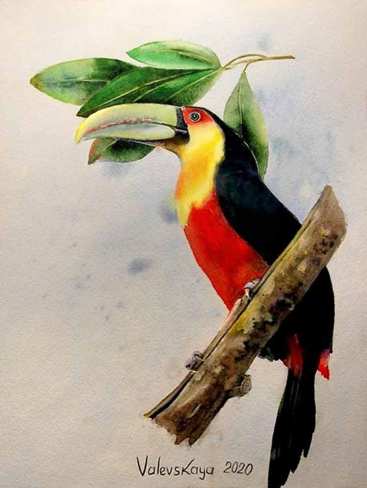 Красногрудый тукан